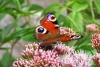 Babočka paví oko (Inachis io) patří mezi nejčastěji zastižený druh denního motýla. Je také jedním z prvních jarních motýlů. Druh není zvláště chráněný